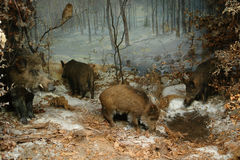 Boar and owl Stock Photos