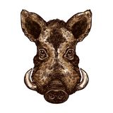 Boar, pig or hog wild animal isolated sketch. Boar, wild pig animal sketch. Hog or african warthog head isolated vector icon of forest and safari mammal with stock illustration