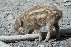 Boar piglet. In a wildpark Royalty Free Stock Image