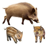Boar familly, two little piglets and mother pig. Isolated realistic illustration on white background. Boar piglets and boar. illustration white background Stock Images