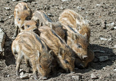 Boar piglets. In a wildpark Stock Photography