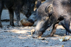 Boar. Portrait of a eating boar Royalty Free Stock Image
