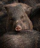 Boar Royalty Free Stock Photos