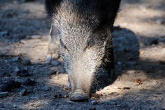 Boar. Portrait of a boar in a wildpark Stock Images