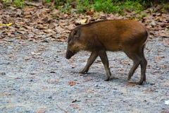 Boar. At the Pulau Ubin Island Singapore Stock Photography
