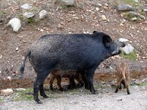 Boar in Quebec. Canada, north America. Boar in Quebec. Canada north America Royalty Free Stock Image