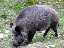 Boar in Quebec. Canada, north America. Boar in Quebec. Canada north America Stock Photo