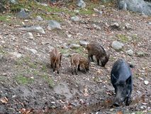 Boar in Quebec. Canada, north America. Boar in Quebec. Canada north America Royalty Free Stock Images