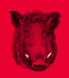 Boar on red background. Illustration in draw Royalty Free Stock Photos
