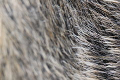The boar's fur texture. The boar's fur texture which I found at the fair on the open air Stock Images