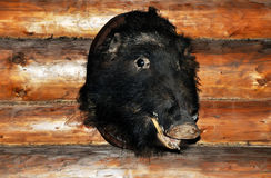 The boar's head. Boar's head hanging on the wooden wall royalty free stock photos