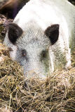 Boar sad, buried his nose in hay Stock Image