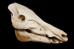 Boar skull Stock Images