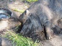 Boar sleep Royalty Free Stock Photos