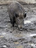 Boar. In the swamp. A close up Royalty Free Stock Photos