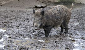 Boar. In the swamp. A close up Stock Photography