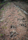 Boar traces on the forest road Royalty Free Stock Image