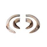 Boar tusk isolated on white Stock Image