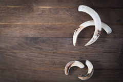 Boar tusk Stock Images