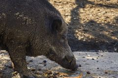 Boar,tusker looking food in the mud. Wild boar, also known as th. E wild swine,Eurasian wild pig, or simply wild pig, is a suid native to much of Eurasia, North stock image