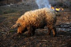 Boar walking near the fire. On rural farm Stock Images