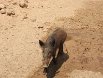 Boar walking on sand, Africa, clear day royalty free stock image