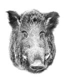 Boar on white background. Illustration in draw, sketch style. Royalty Free Stock Photo
