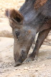 Boar wild animal European. Boar wild animal forests and grasslands European stock image
