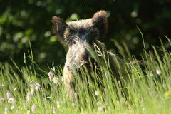 Boar wild animal European. Boar wild animal forests and grasslands European stock photography