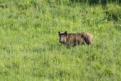 Boar wild animal European. Boar wild animal forests and grasslands European royalty free stock photography