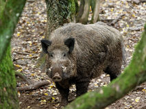 Boar. Wild animal in the forest Royalty Free Stock Photos