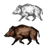 Boar aper vector sketch wild animal. Boar wild animal vector sketch icon. Wild aper swine or pig hog side view symbol for wildlife fauna and zoology or hunting Stock Photo