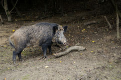 Boar. Wild boar in autumn forest royalty free stock images