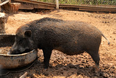 Boar Wild Boar Royalty Free Stock Photo