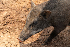 Boar Wild Boar Royalty Free Stock Image