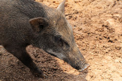 Boar Wild Boar Stock Photo