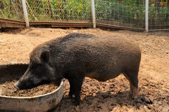 Boar Wild Boar Royalty Free Stock Photography