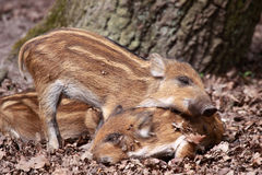 The boar or wild boar (Sus scrofa). Litter size is typically 4-6 piglets but may be smaller for first litter stock images