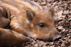 The boar or wild boar (Sus scrofa). Litter size is typically 4-6 piglets but may be smaller for first litter royalty free stock photo