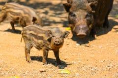 Boar Stock Photos