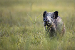 Boar in the wild. In the clearing royalty free stock photo