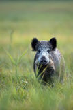Boar in the wild. Boar in a clearing, in the wild royalty free stock images