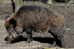 Boar Stock Photography