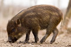 Boar - Wild Pig - Sus scrofa Stock Photos