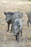 Boar, Wild (Sus scrofa). Rooting through the countryside of Sri Lanka stock photography