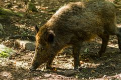 Boar in Wildpark Neuhaus. Wildpark Neuhaus,Park full of animals un Germany Stock Photos