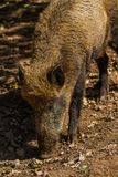 Boar in Wildpark Neuhaus. Wildpark Neuhaus,Park full of animals un Germany Royalty Free Stock Image