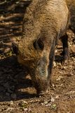 Boar in Wildpark Neuhaus. Wildpark Neuhaus,Park full of animals un Germany Royalty Free Stock Photography