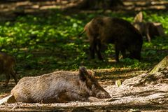 Boar in Wildpark Neuhaus. Wildpark Neuhaus,Park full of animals un Germany Stock Image