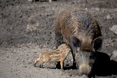 Boar Stock Photo